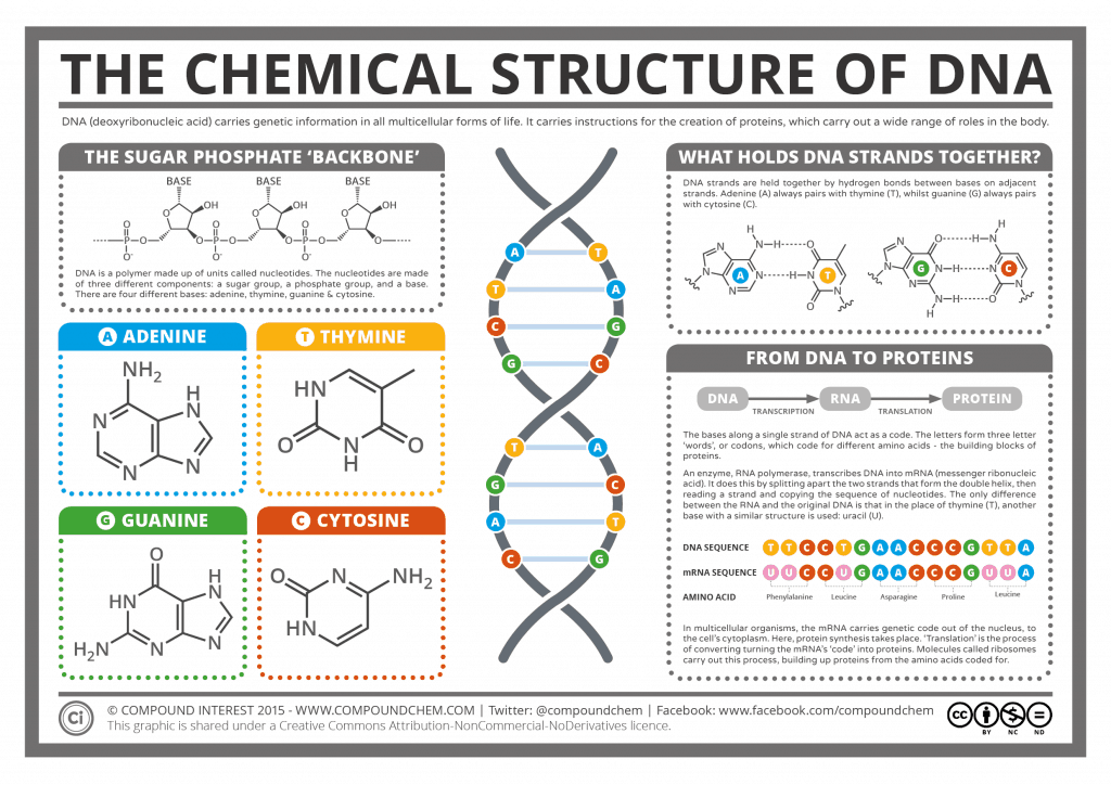 The Chemical Structure of DNA 1024x724