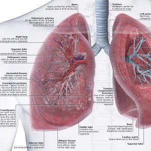 Lungs Human Body Images Gallery: Human Body Lung And Heart, - Human Anatomy Diagram