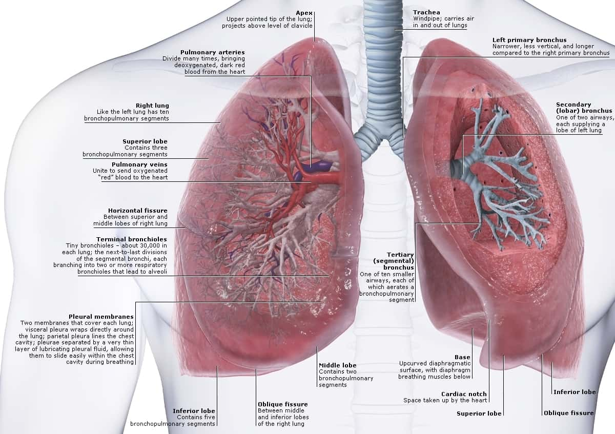 Lung and Heart Human Anatomy Diagram
